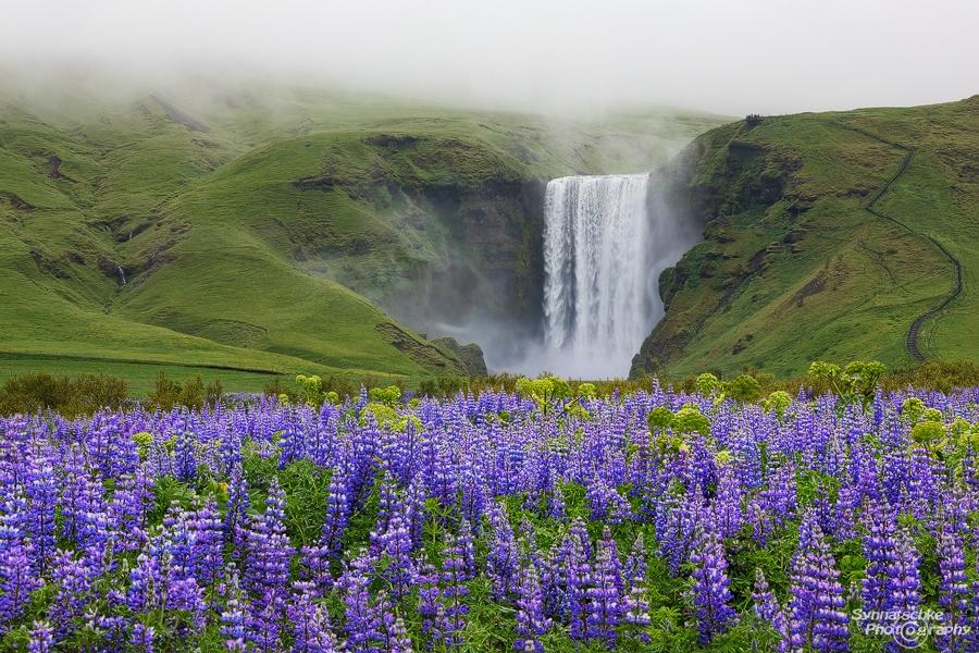 lupine field skogafoss waterfall iceland